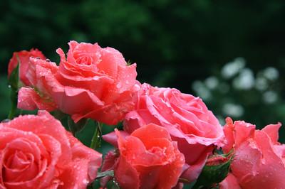 Rose_044